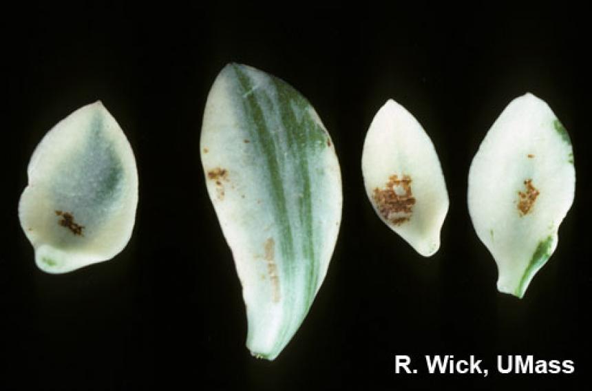 Jade plant, Variegated - Powdery mildew