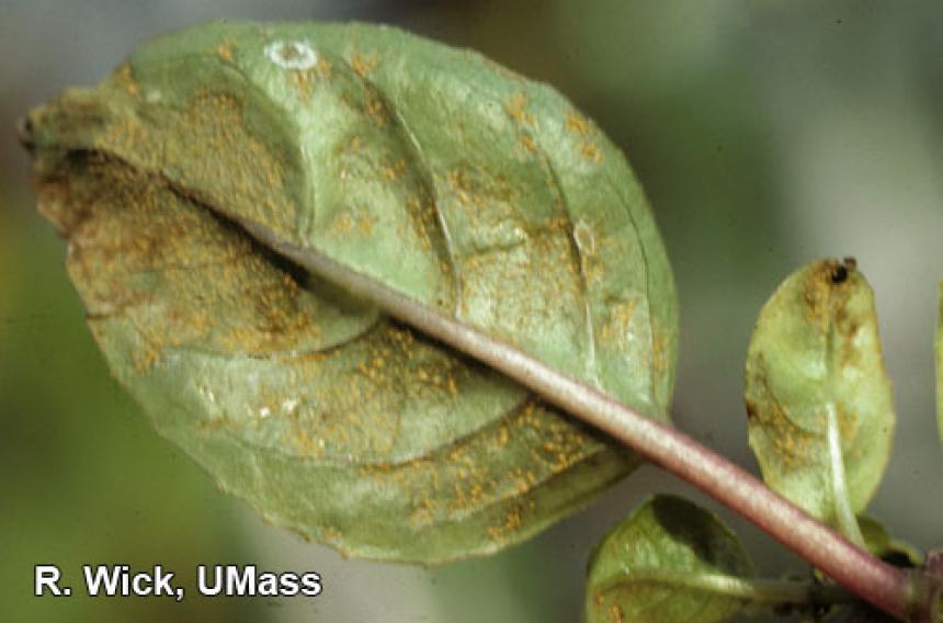 Fuchsia – Rust