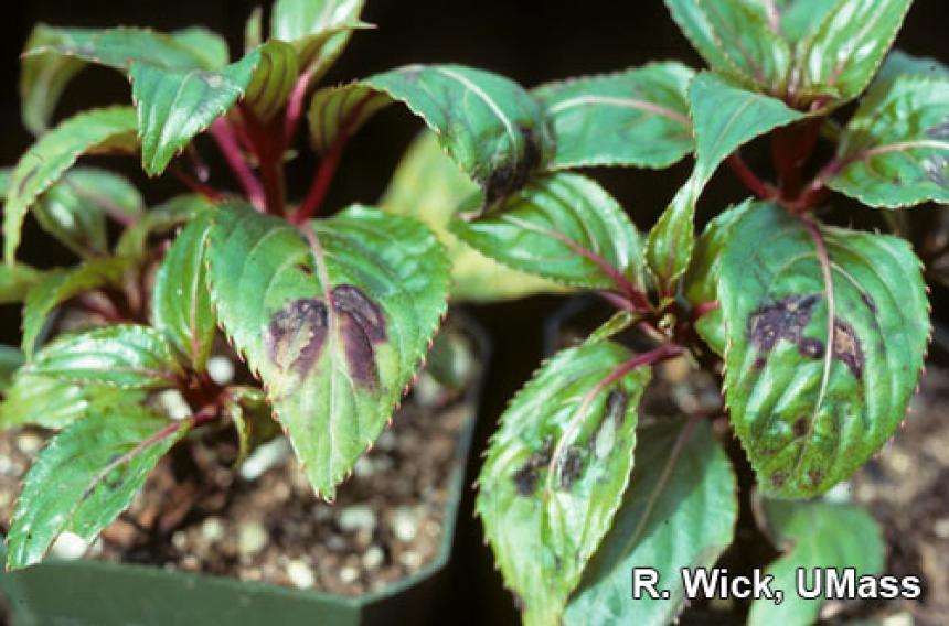 New Guinea Impatiens – Tomato Spotted Wilt Virus (TSWV)