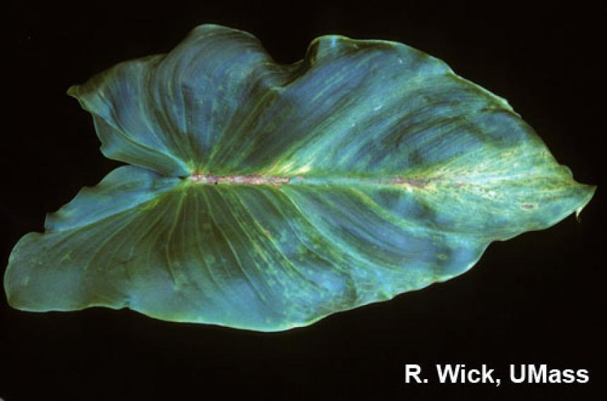 Calla lily – Tomato Spotted Wilt Virus (TSWV)
