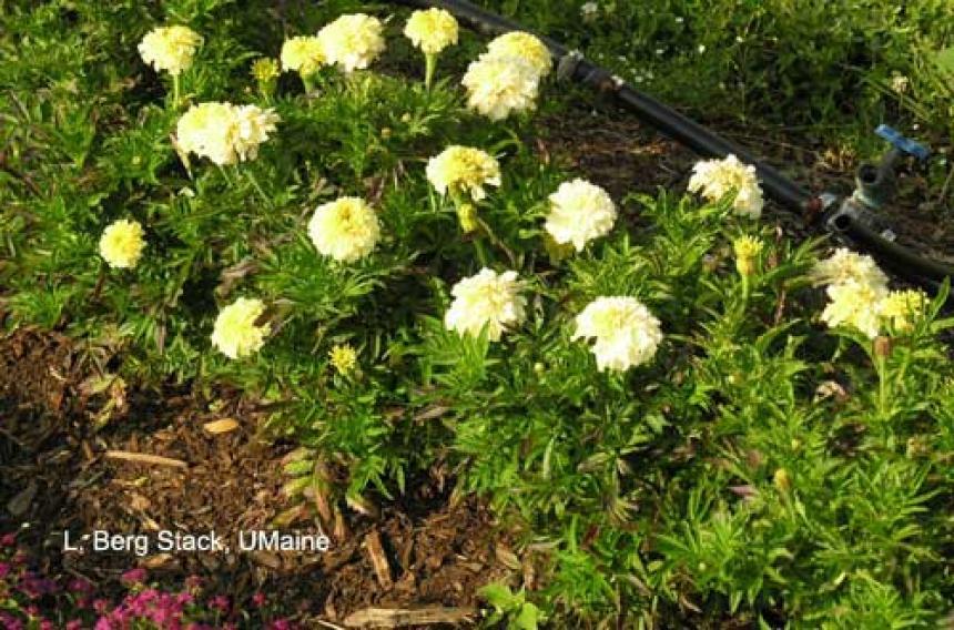 Trial Garden - African Marigold 'Vanilla'