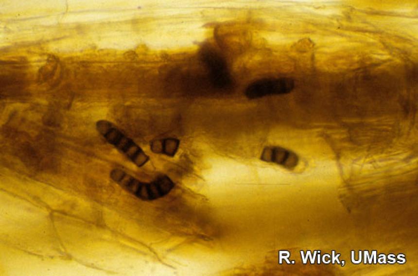Pansy – Black Root rot (Thielaviopsis basicola)