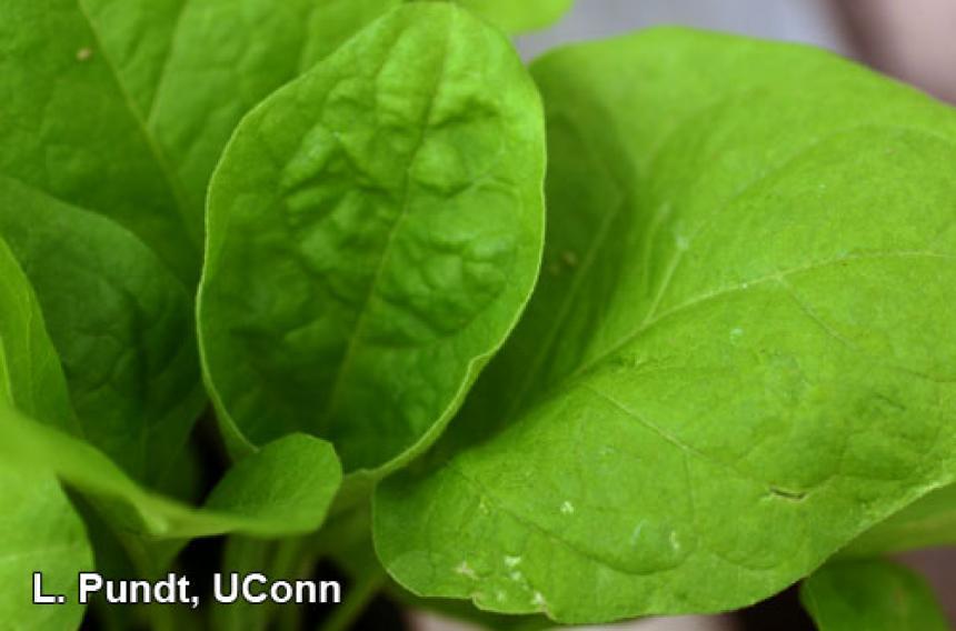 Western flower thrips - Eggplant