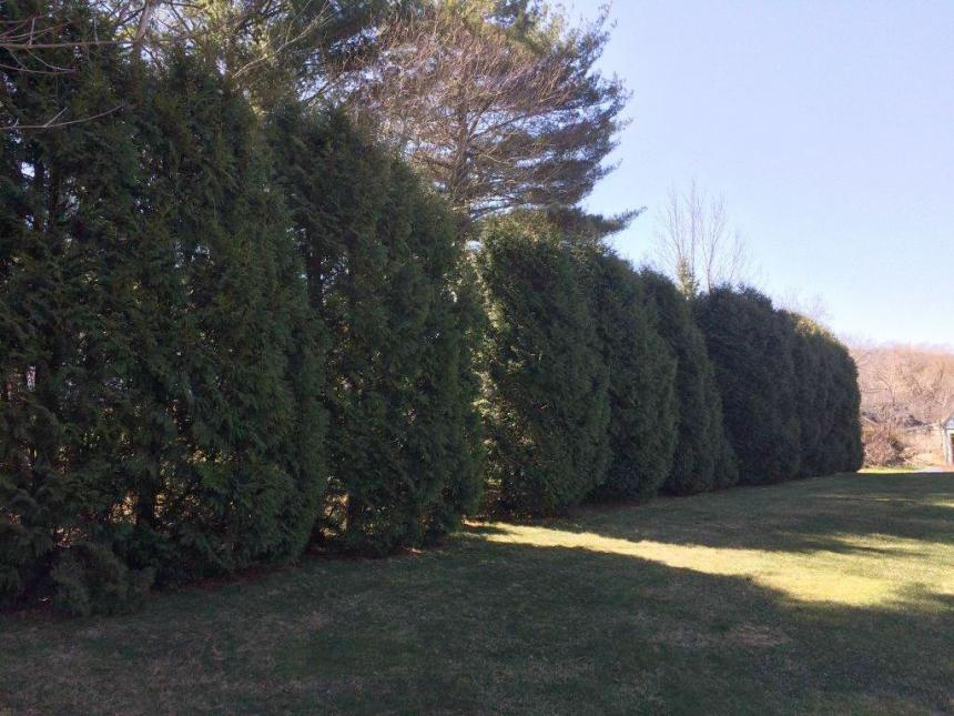 Arborvitae screen in Pittsfield, Mass.
