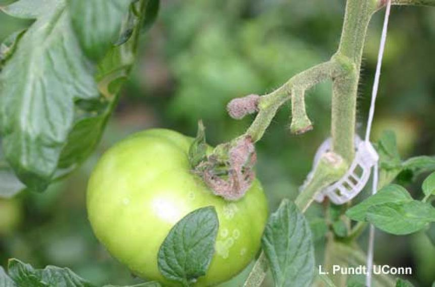 Botrytis - greenhouse tomato (ghost spot)