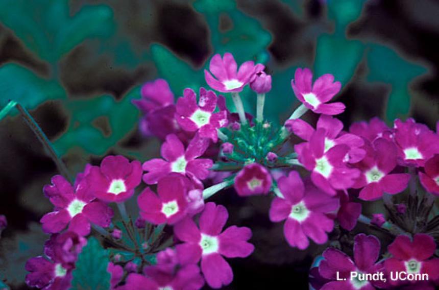 Thrips – Western flower thrips feeding injury on verbena flowers