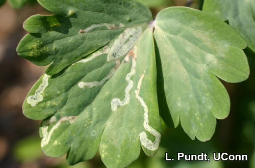 Leafminer injury
