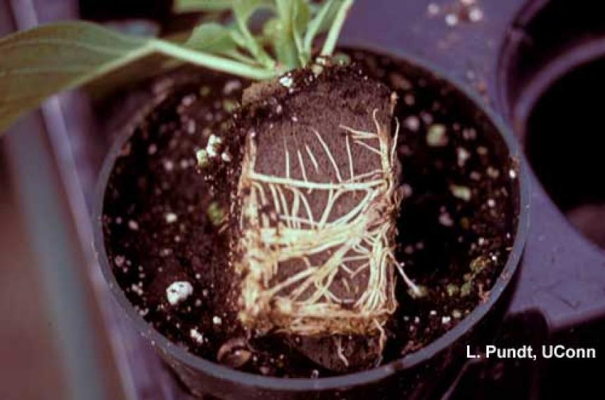 Fungus gnats – feeding injury on poinsettia roots