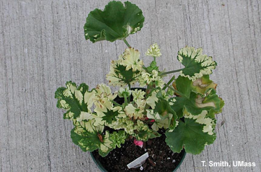 Herbicide injury on geranium