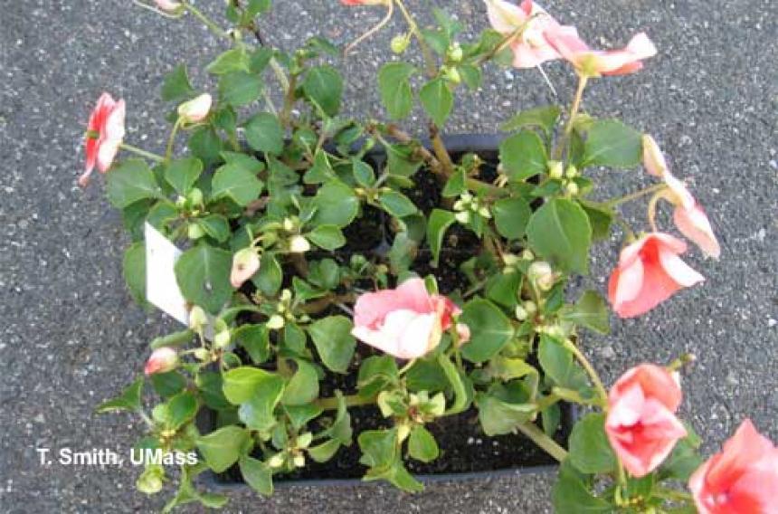 Impatiens Necrotic Spot Virus on Garden Impatiens