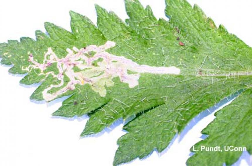 Leafminer – feeding injury by larva (leaf mines) on poppy (Papaver)