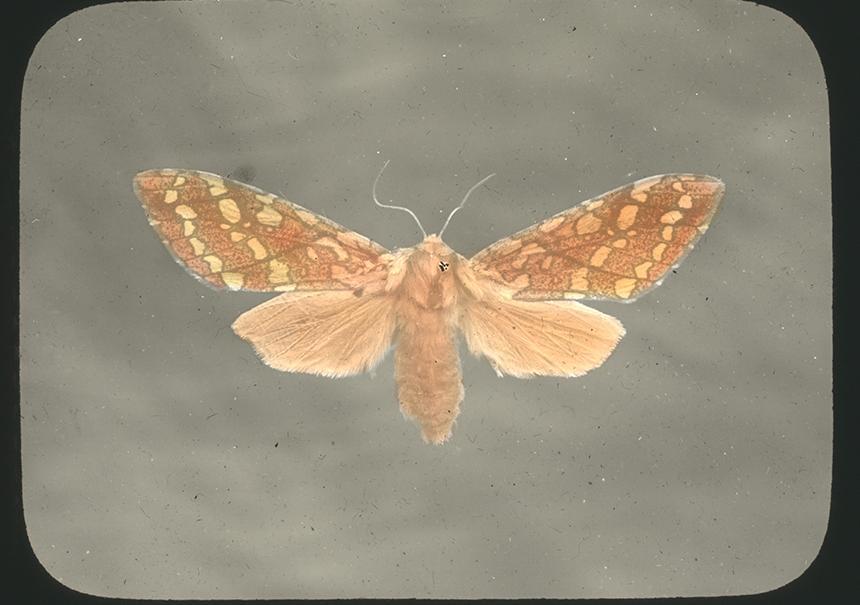 Halinidota caryas moth