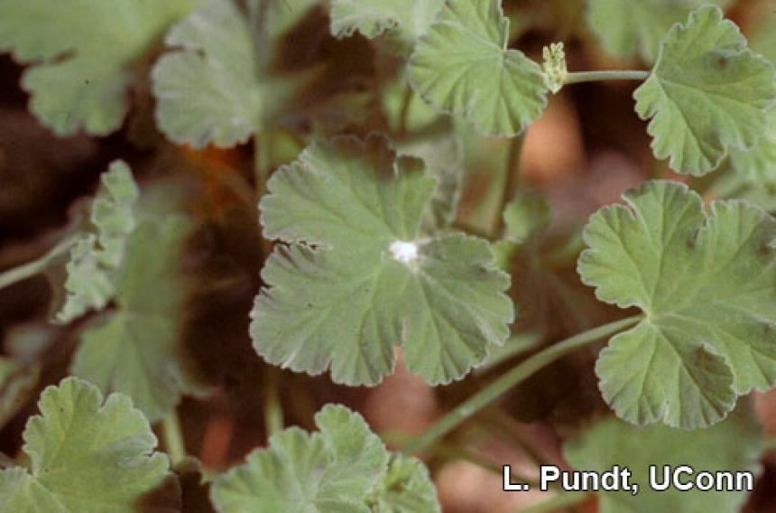 Mealybug on Scented geranium