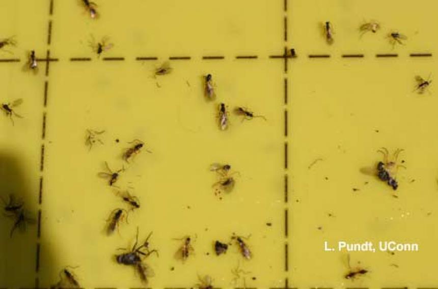 Fungus gnat parasites on sticky card