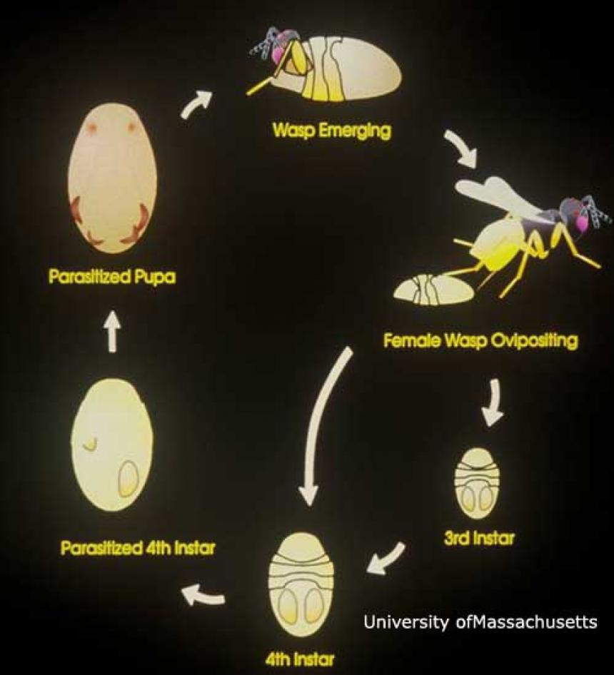 Parasitic Wasp Life Cycle
