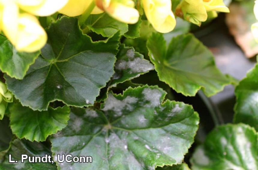 Begonia – Powdery mildew
