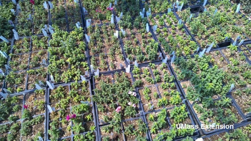 Snapdragon tranplants - Pythium root rot