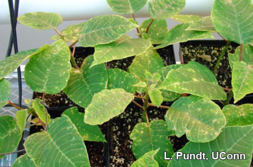 Thrips damage - Poinsettia