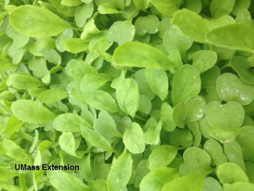Thrips feeding injury on greenhouse grown Arugula