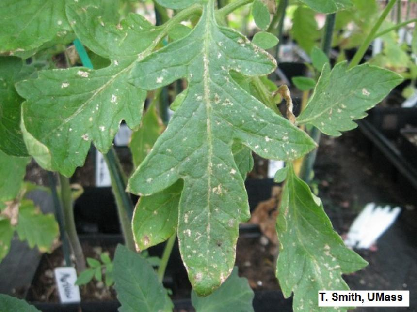 Thrips feeding injury on tomato plants in greenhouse