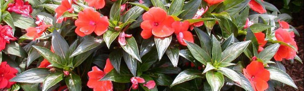 Impatiens plants