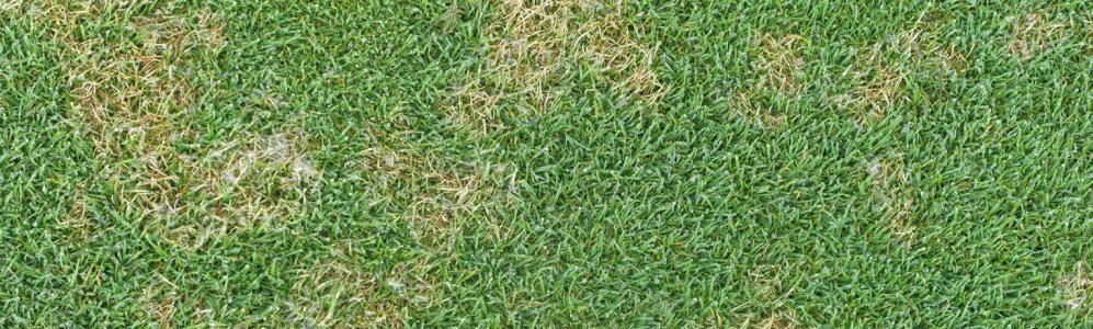 "The fungus-based disease called, ""dollar spot""."