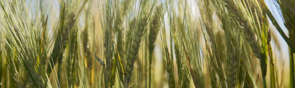 Since 2011, many New England farmers have added barley to their cropping systems to meet emerging demands of new craft beer brewers. Ben Barnhart, photo