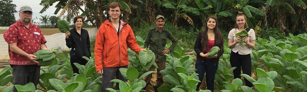 Harvesting tobacco on Cuban farm