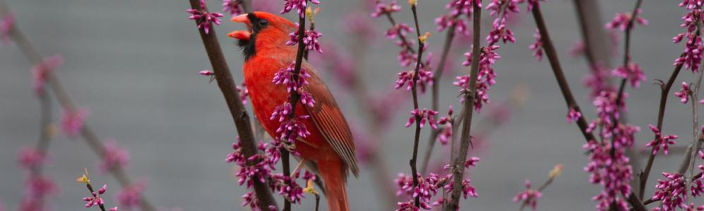 Male Cardinal, credit-Chris Wood at Macaulay Library, Cornell Lab of Ornithology