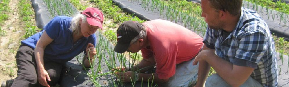 Scouting for pests in onion crop