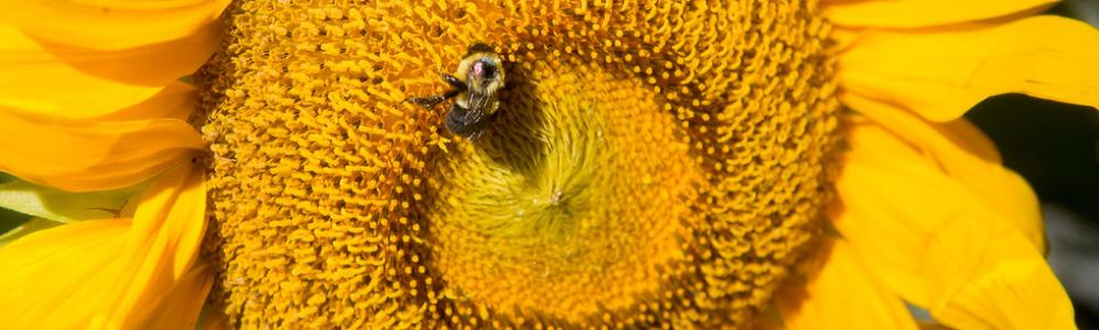 Bumblebee pollinates sunflower. Ben Barnhart photo credit