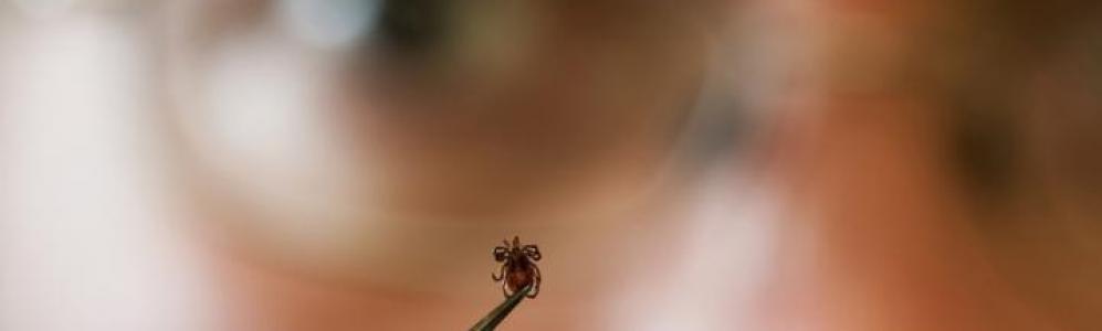 Tick held in forceps