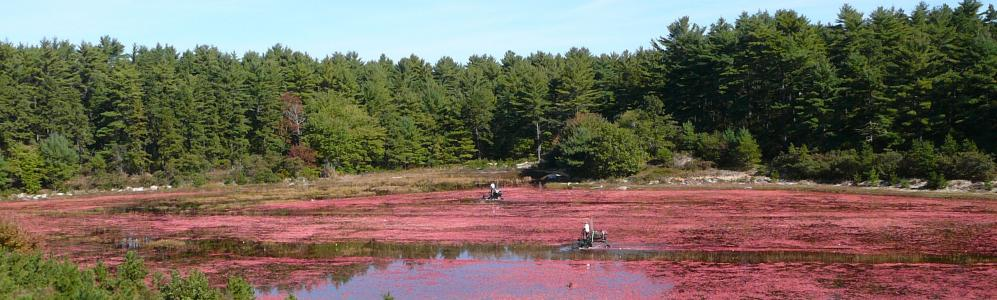 UMass Cranberry Station, cranberry crop
