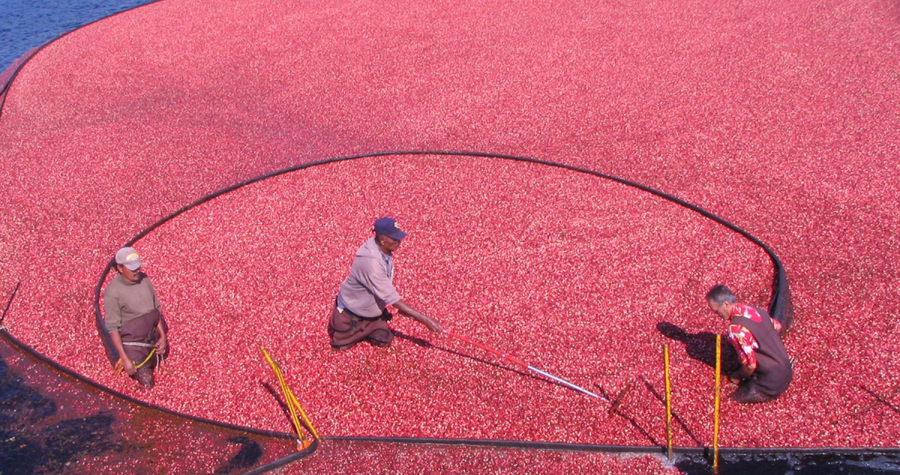 Harvesting cranberries at UMass Cranberry Station, East Wareham