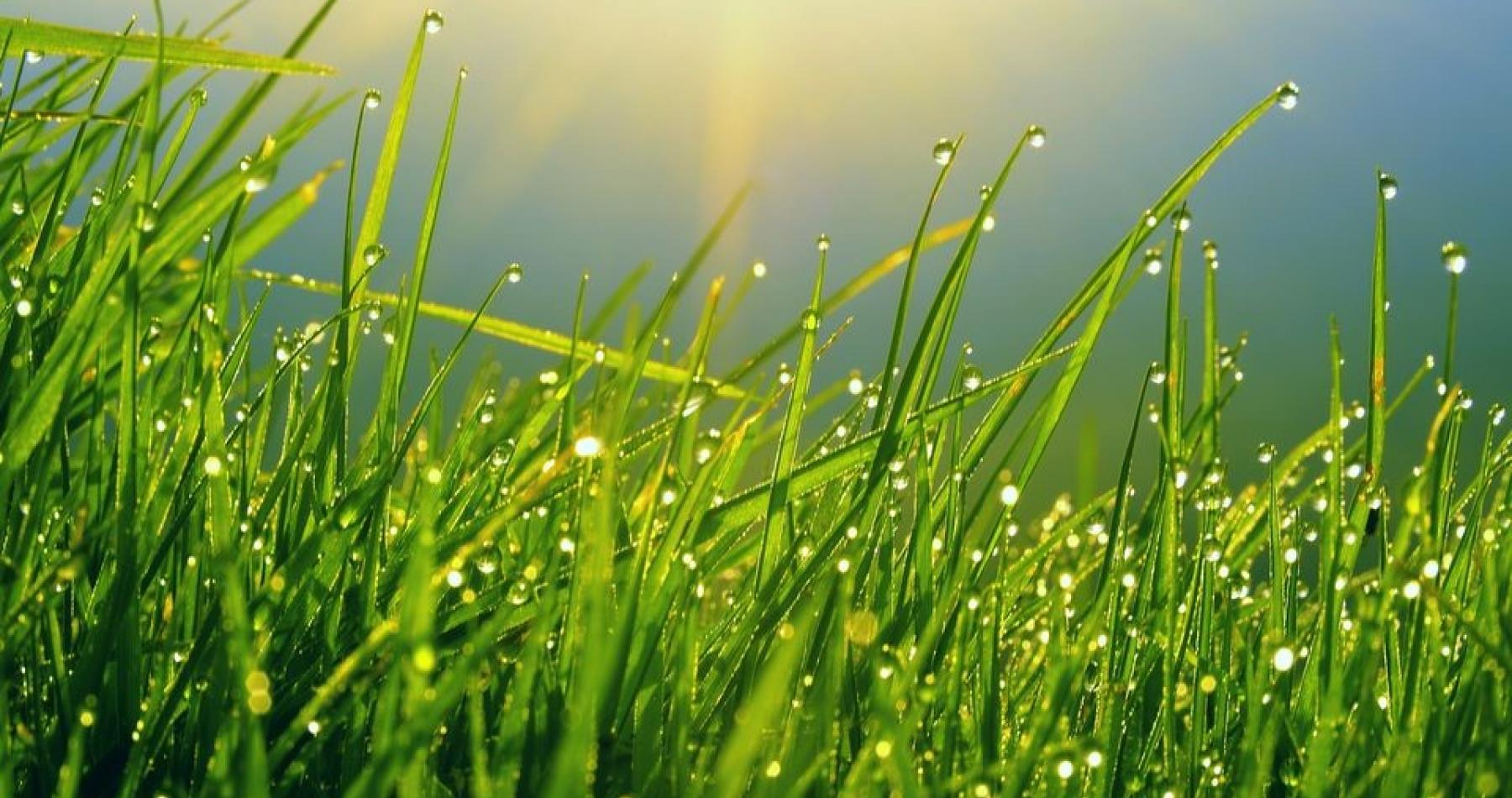 turf with dew drops PHOTO CREDIT: GESpest.com