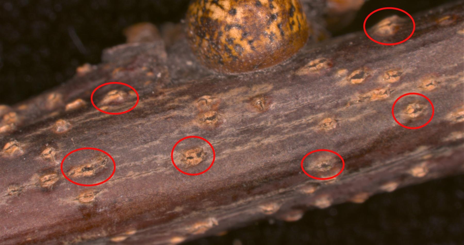 Red Oak Lecanium Scale Diplodia Canker
