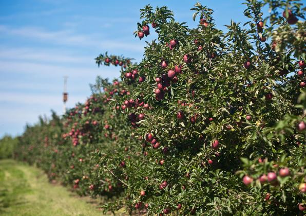 Apples at Cold Sring Orchard