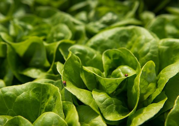 Ladybugs on lettuce
