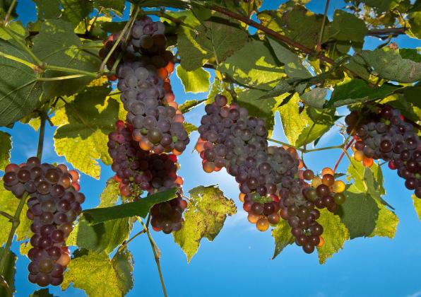 Grapes against blue sky at Cold Spring Orchard