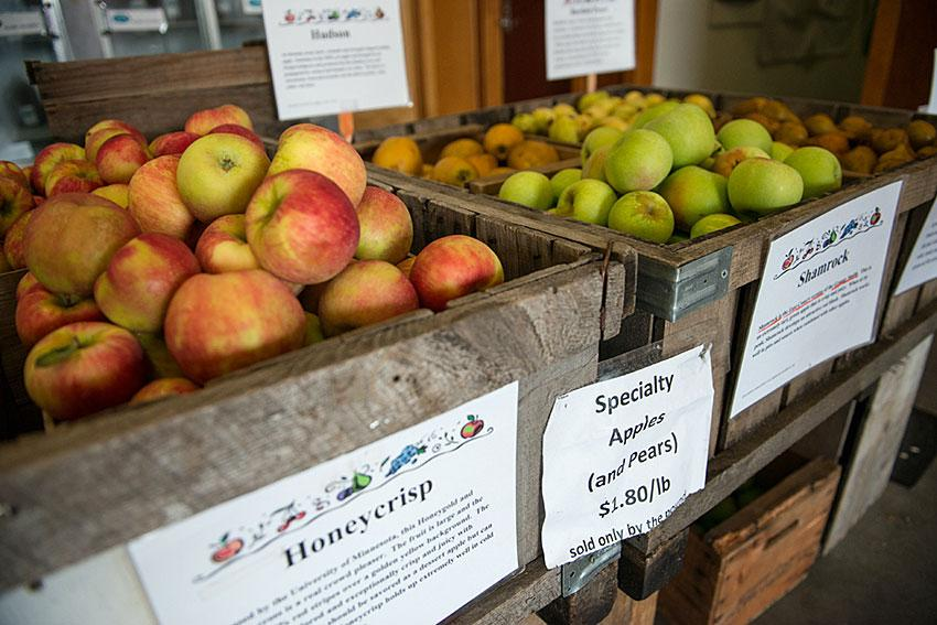 Apples at Umass grading apples at Apples at Cold Spring Orchard Research and Education Center in Belchertown