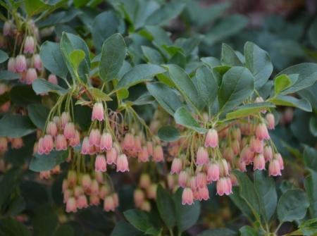 Enkianthus flowers