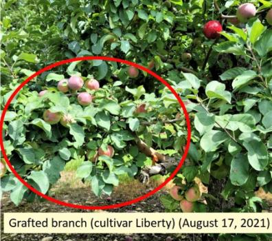Grafted apple branch cultivar Liberty
