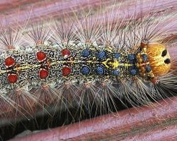 gypsy moth caterpillar-By Materialscientist at English Wikipedia, CC BY-SA 3.0, https://commons.wikimedia.org/w/index.php?curid=10552862