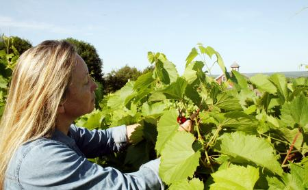 Lyndsey Ware prunes grapes at Cold Spring Orchard