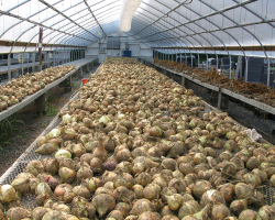 onions drying in greenhouse