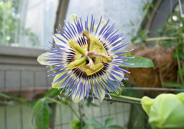 Passion flower grows at Durfee Conservatory