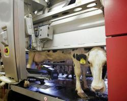 Cow with robotic milking machine