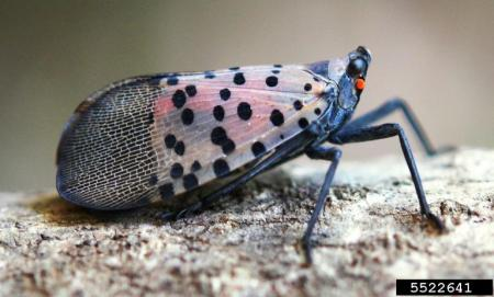 A spotted lanternfly adult. (Image: Lawrence Barringer, Pennsylvania Department of Agriculture, Bugwood.org)