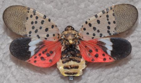 Adult spotted lanternfly with wings spread open. (Courtesy of Gregory Hoover.)