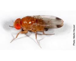 Male Spotted Wing Drosophila (Drosophila suzukii)